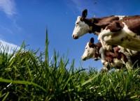 Коровы пасутся на лугу. Архив