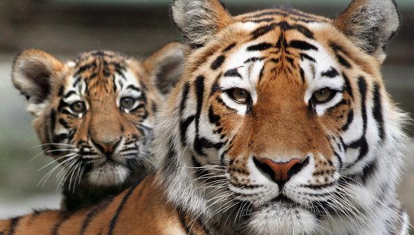 Амурский тигр с детенышем, архивное фото