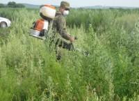 Уничтожение плантации конопли в Ханскайском районе Приморья