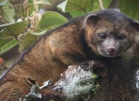 Олингито стали первым видом хищников, найденным на территории Нового Света за последние 35 лет
