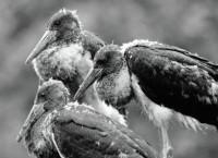 Птенцы черного аиста в гнезде