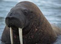 Арктическая экспедиция WWF в море Лаптевых взяла у моржей пробы для генетического анализа