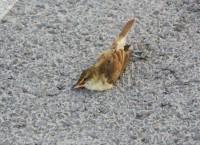 Погибшая птица на Русском мосту во Владивостоке